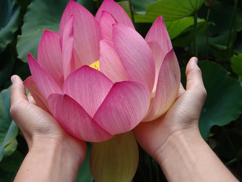 lotus flower info  moms motivating other mothers, Beautiful flower